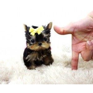 3) something tiny - micro teacup yorkie