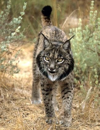 The Iberian lynx, brought back from the brink of extinction by a team of dedicated biologists in Spain... kind of scary..