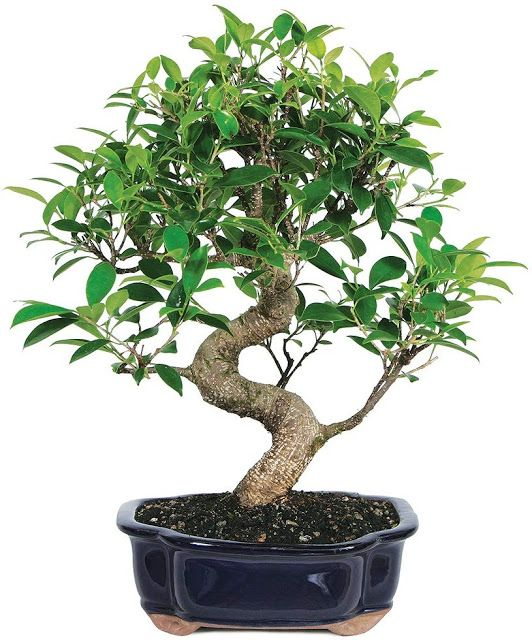 Golden Gate Ficus Bonsai In 2020 Indoor Bonsai Tree Ficus Bonsai Tree Bonsai Trees For Sale