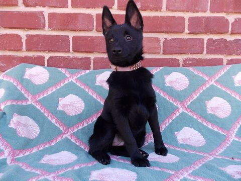 Schipperke Puppy For Sale In Oklahoma City Ok Adn 69364 On