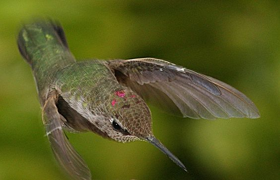 Adolescent Male Annas' Hummingbird Hovering Over Water