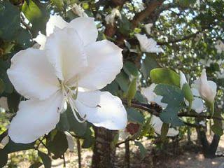 kantinho das mensagens: Kantinho da Edite: Flores Brancas...