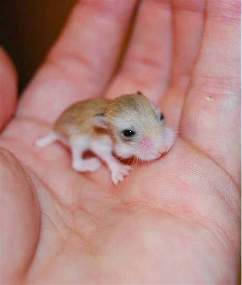 Pin By Saba Fana On Baby Animals So Cute Cute Baby Animals Baby Hamster Hamsters As Pets
