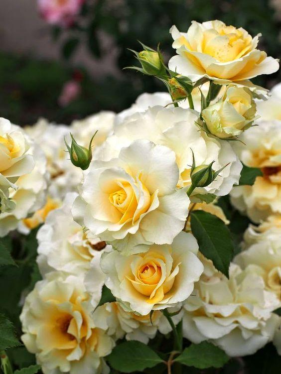 Floribunda Rose: