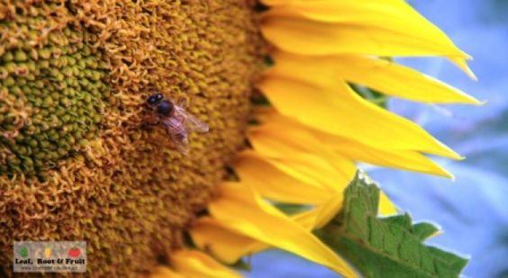 Giant Edible Trellis Project: Week Sixteen - Leaf, Root & Fruit Gardening Services Hawthorn