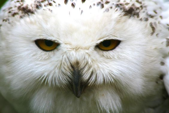 Shifty Eyed Owl  Up close at Dublin Zoo! By Paul Madden