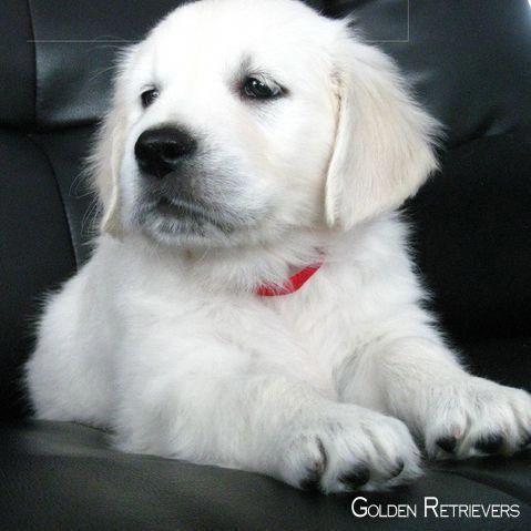 Asmrfood Viralvideo Icanteven Mydogismy Puppytrip In 2020 White Golden Retriever Puppy Retriever Puppy Dogs Golden Retriever