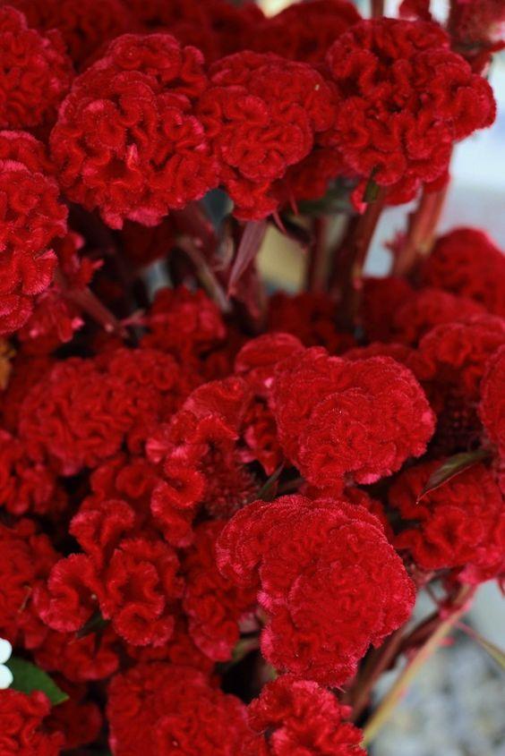 Celosia vermelha.