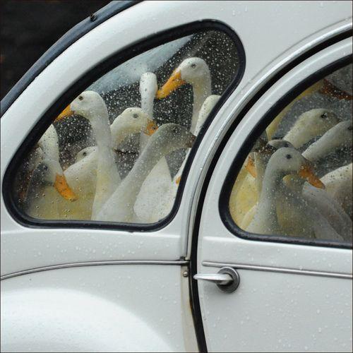 Bird Humor: A Beetle full of geese: