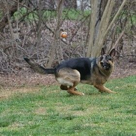 GermanShepherdDogsInActionOnly by Vision4Images