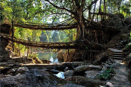 <p>  A espécie utilizada para o crescimento das pontes é a <em>Ficus elástica, </em>árvore tropical, conhecida popularmente como Seringueira. | Foto: <a href='http://www.flickr.com/photos/ashwinmudigonda/7163041584/sizes/m/in/photostream/' target='_blank'>Ashwin Mundigonda/Flickr</a></p>