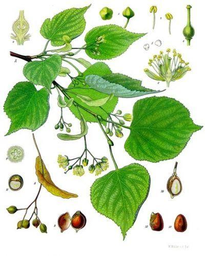 Die Winterlinde und die Sommerlinde sind weit verbreitet und gelten als Friedensbäume. Nutze sie zur Stärkung der Abwehrkräfte, gegen Erkältungen und mehr.