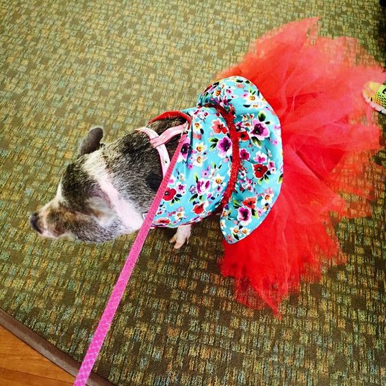 Omi is Looking Ravishing in her Snort Life Tutu Dress for Pet Therapy!!