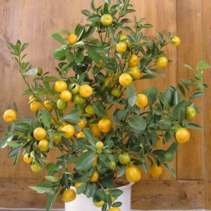 "<br /> <p> <span style=""font-style: italic;"">Citrus x reticulata</span><br /> <br /> An Australian hybrid variety with fragrant white blossom in late winter, early spring and sweet delicious fruit. Excellent colour and flavour, the skin is smooth, glossy, thin and easy to peel, making it popular with children. Prefers a full sun posit..."
