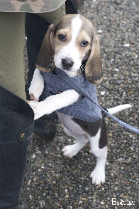 Beagle Dog Beaglemom Beagles Colors Beagle Puppy Cute Beagles