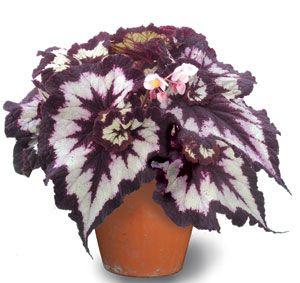 China Curl Rex Begonia: