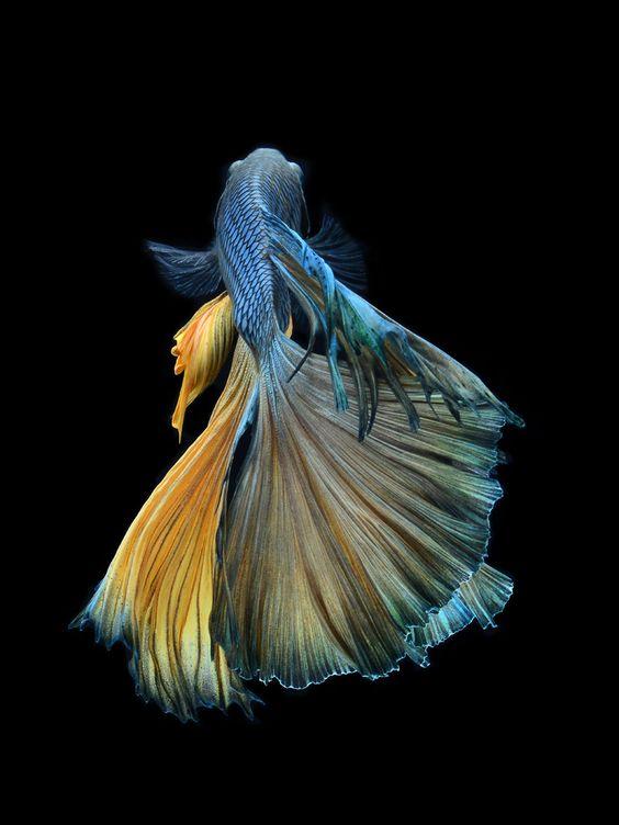 Elegant by visarute angkatavanich betta fish pinterest for Pretty betta fish