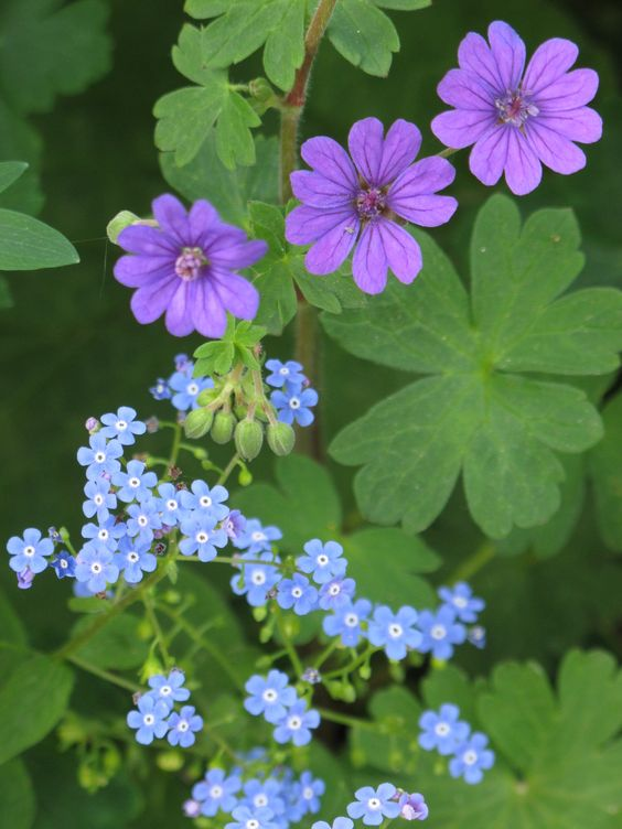 Geranium and forget-me-not