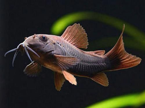 Buy Black Venezuelan Cory Online From World Wide Fish And Pets We Carry The Best Quality Fish Anywhere Fast Cool Fish Tropical Fish Aquarium Freshwater Fish