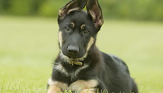 Picture Glossary Of Dog Breeds