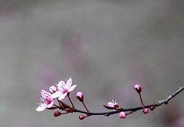 Kirsche, Kirschbaum, Blüte, Baum, Rot