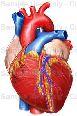 image result for human heart drawing color | russedress, Muscles