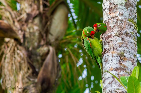 Red-fronted Parakeets by Ariel Matias on 500px
