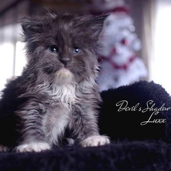 Maine Coon Cat  Kitten Chaton  Femelle Blue