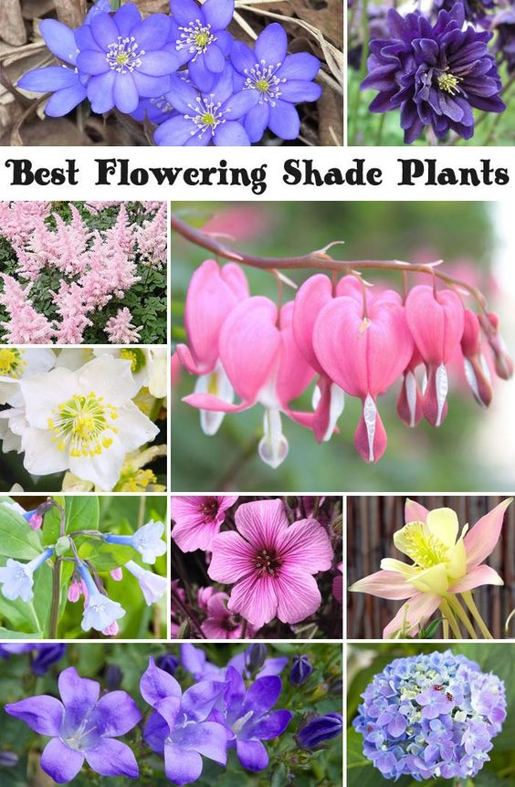 Best Flowering Shade Plants Shade Plants Shades And Plants