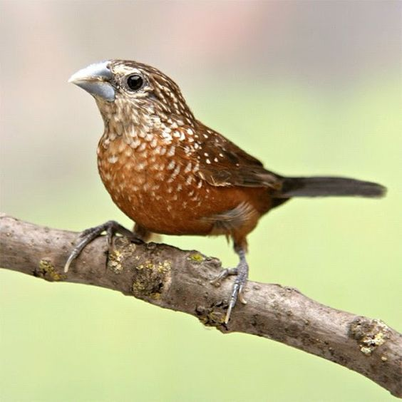 White-spotted Munia (Lonchura leucosticta) | West Papua (Indonesia), Papua New Guinea