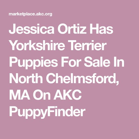 Jessica Ortiz Has Yorkshire Terrier Puppies For Sale In North Chelmsford Ma On Akc Puppyfinder Yorkshire Terrier Puppies Yorkshire Terrier Puppies For Sale