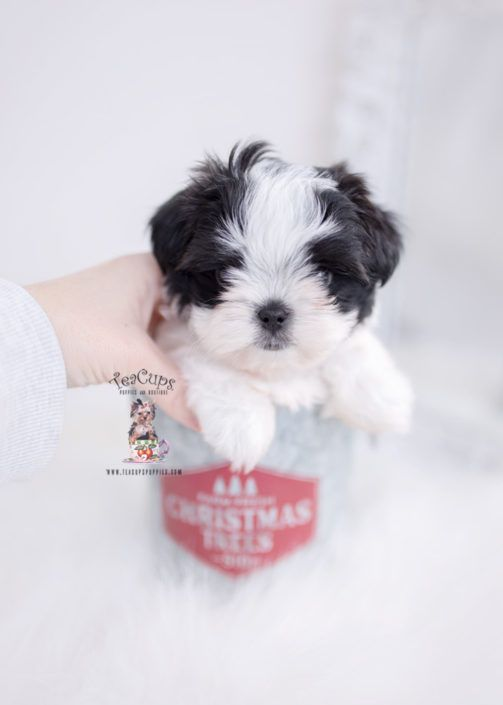 Malshi Maltese Shih Tzu Puppy For Sale Teacup Puppies 442 B