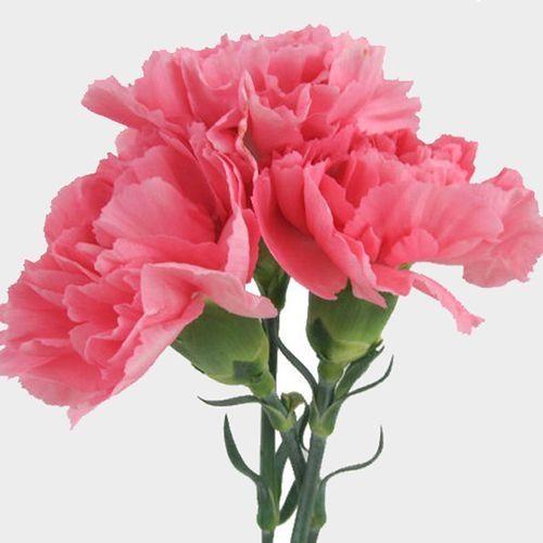 Pink Carnation Flowers Fancy Wholesale Blooms By The Box Carnation Flower Pink Wedding Flowers Flowers