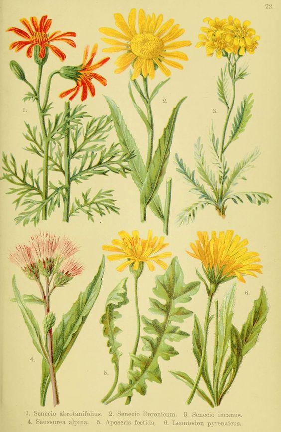 Alpen-Flora für Touristen und Pflanzenfreunde Stuttgart :Verlag für Naturkunde Sprösser & Nägele,1904. biodiversitylibrary.org/page/10384072