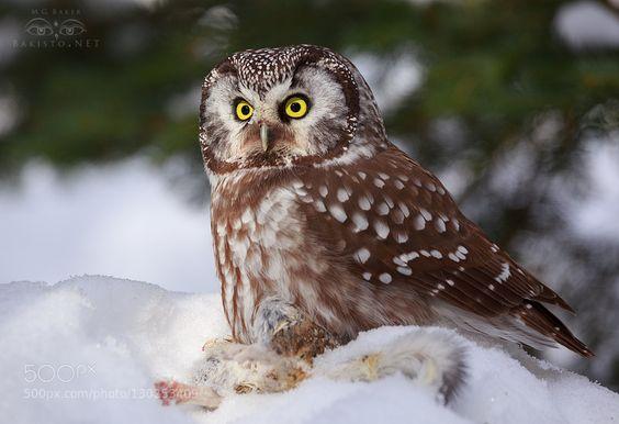 Boreal owl de bakisto