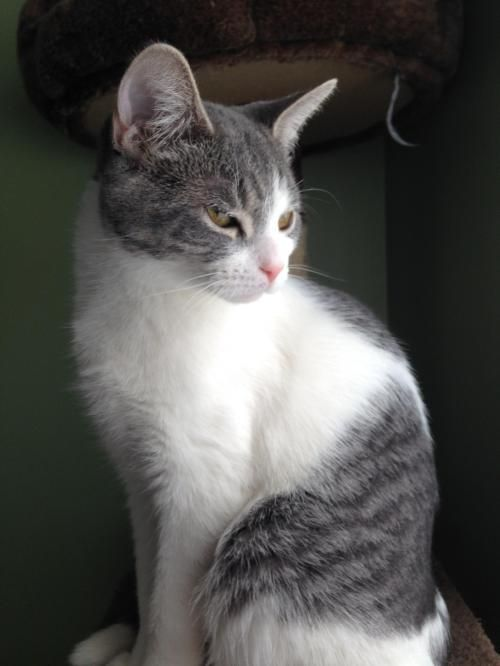 Adopt Annabelle Petco Troy On Pretty Cats Saving Cat Cat