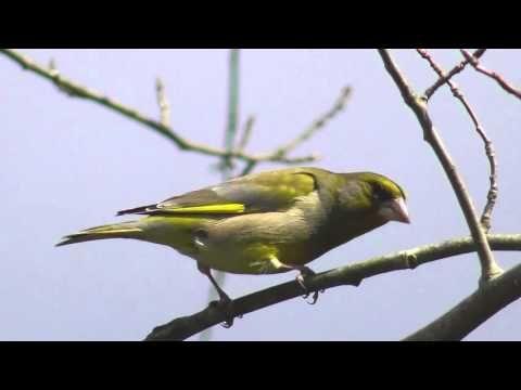 Wintervogel Mit Gesang Und Ruf Youtube Gesang Und Winter