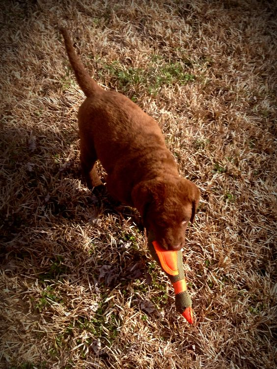 Smart girl! Already retrieving her duck toy at 6wks multiple times for us! Chesapeake Bay Retriever puppies are becoming a favorite fast but I'm partial