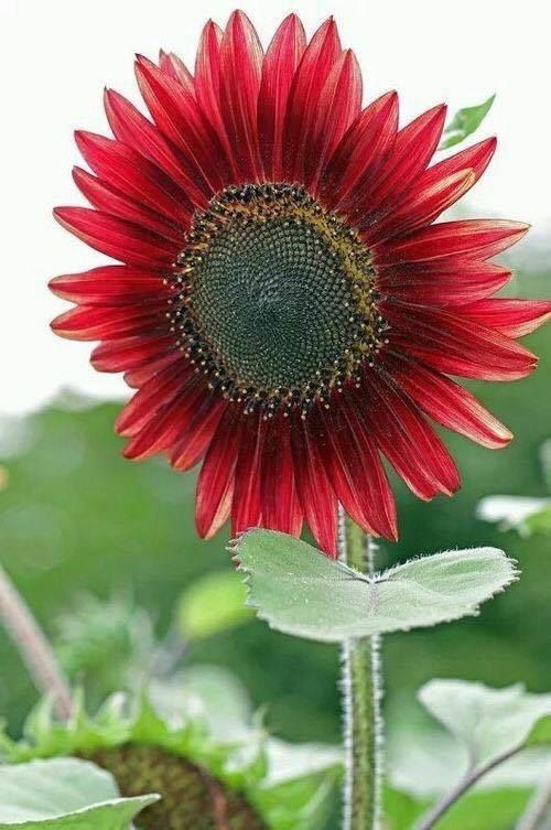 Beautiful Red Sunflower Red Sunflowers Love Flowers Amazing Flowers