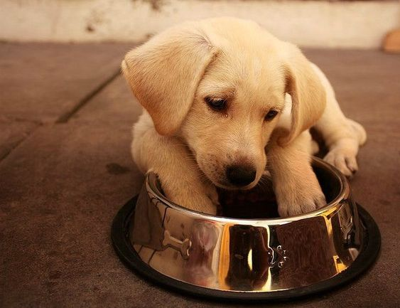 Labrador Retrievers and Dog Food: What to Feed Them - You have this new beautiful Labrador Retriever puppy or full grown rescue Lab and you have no clue what to feed it. Does that sound familiar? Here's tips.