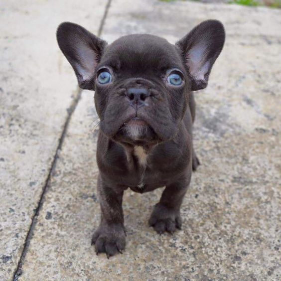 Frenchie puppies, French bulldogs and Blue eyes on Pinterest
