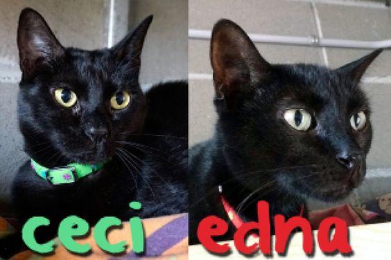 Adopta a Ceci y Edna ( Gato Comun ) - #adopta #gatos