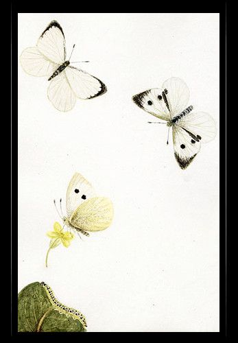 """Large White Butterfly"" {Pieris brassicae}  by Katherine Plymley."