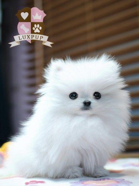 pomeranian puppy. so fuzzy...