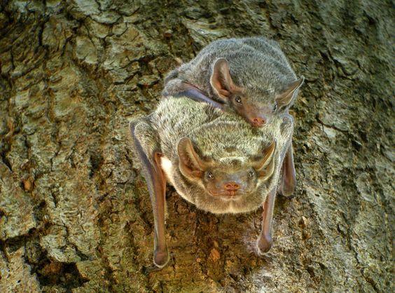 Mauritian Tomb Bat (Taphozous mauritianus), Ankarafantsika, Madagascar