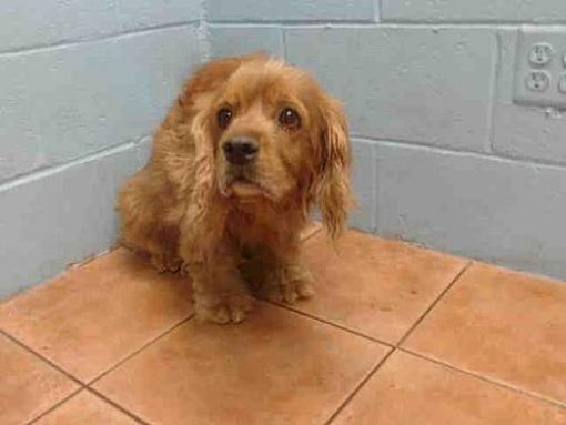 Downey Ca Cocker Spaniel Meet Skitt A Dog For Adoption Cocker Spaniel Mix Pets Downey California