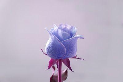 30 Gambar Bunga Mawar Terbaik Server Gambar Koleksi Gambar Keren Dan Informasi Akurat Blue Roses Wallpaper Rose Wallpaper Vintage Flowers Wallpaper