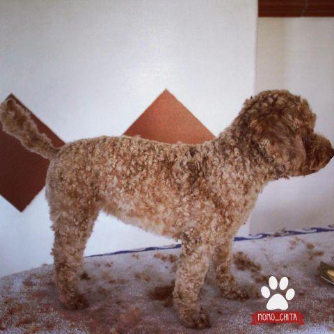 Teddyschnitt Pudelschur Pudel Hunde Fur Allergiker Und
