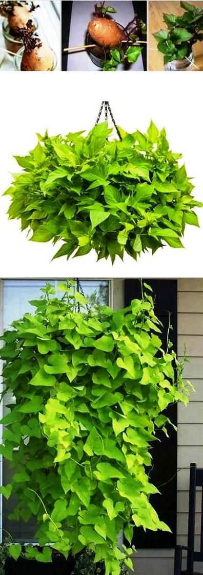 I love the idea of using sweet potatoes in hanging baskets. Sneaking food crops into the ornamental landscape!