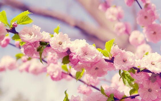 Cerezos en flor la primavera en mi pueblo del sur del mundo
